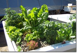 ABOVE :- 15 October 2006 - Note that lettuce in the front left hand corner have been harvested and replaced with Bok Choi seedlings.