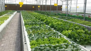 Aquaponics Salad Greens