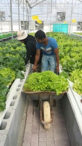 Harvesting lettuce in an Aquaponics Farm. Practical Aquaponics.