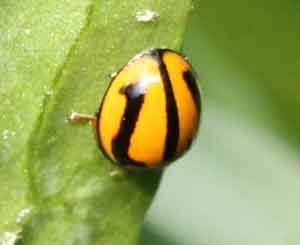 Striped Ladybird Beetle - Micraspis frenata
