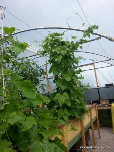Cucumber and Climbing Beans Aquaponics Indy 23 system