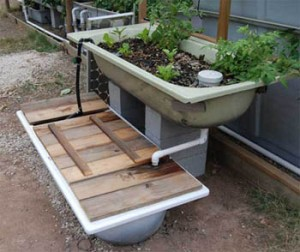 This bathtub aquaponics system is a low tech solution.