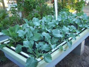 Broccoli in Murray Hallam's Aquaponics
