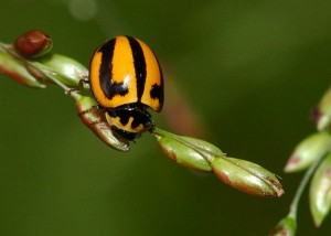 Striped Ladybird Beetle Photo by Brisbane Insects