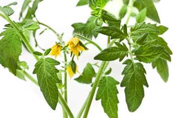 Tomatoes in Aquaponics Practical Aquaponics.