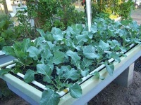 Broccoli growing in an Aquaponics System.